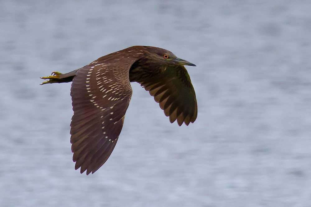 A green heron in flight over Prospect Park Lake.