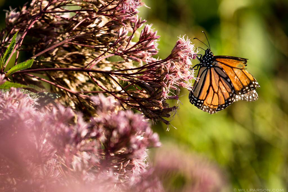 A monarch butterfly lands on joe pye weed in a native perennial garden in Annapolis, Md., on Aug. 9, 2017.