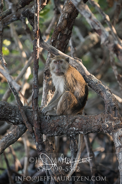 A Long-tailed Macaque sits in a tree on Rinca Island, part of Komodo National Park in Indonesia.