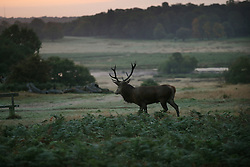 © Licensed to London News Pictures. 25/09/2015. London, UK. A Red Deer stag stands in Richmond Park at first light. Photo credit: Peter Macdiarmid/LNP