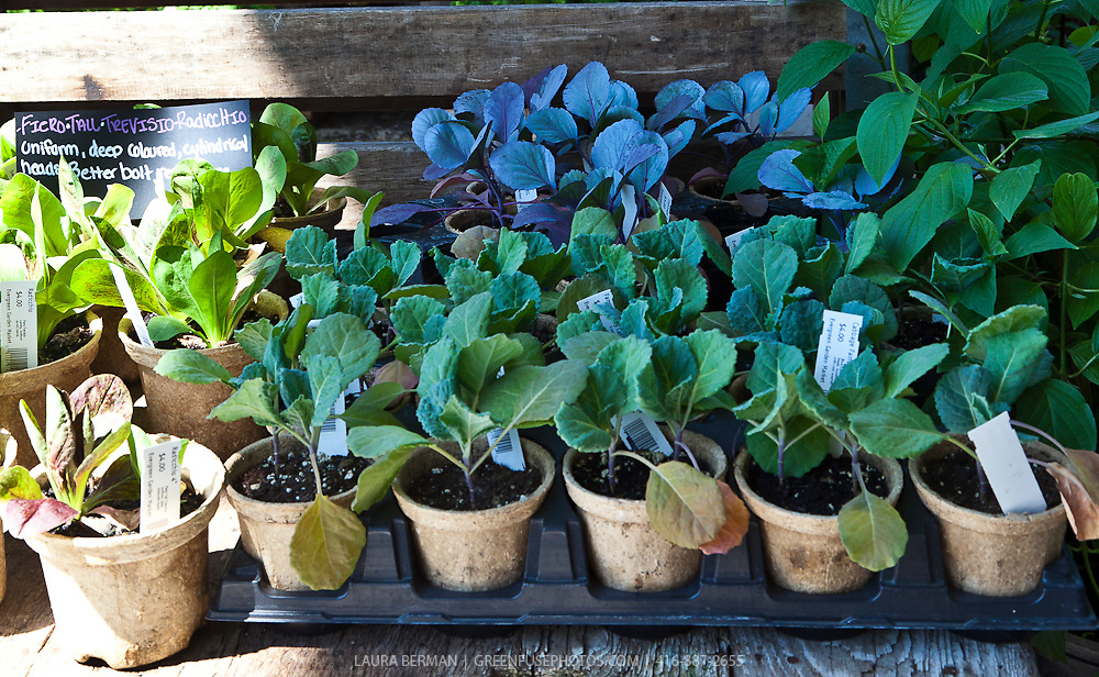 Purple and green cabbage transplants in