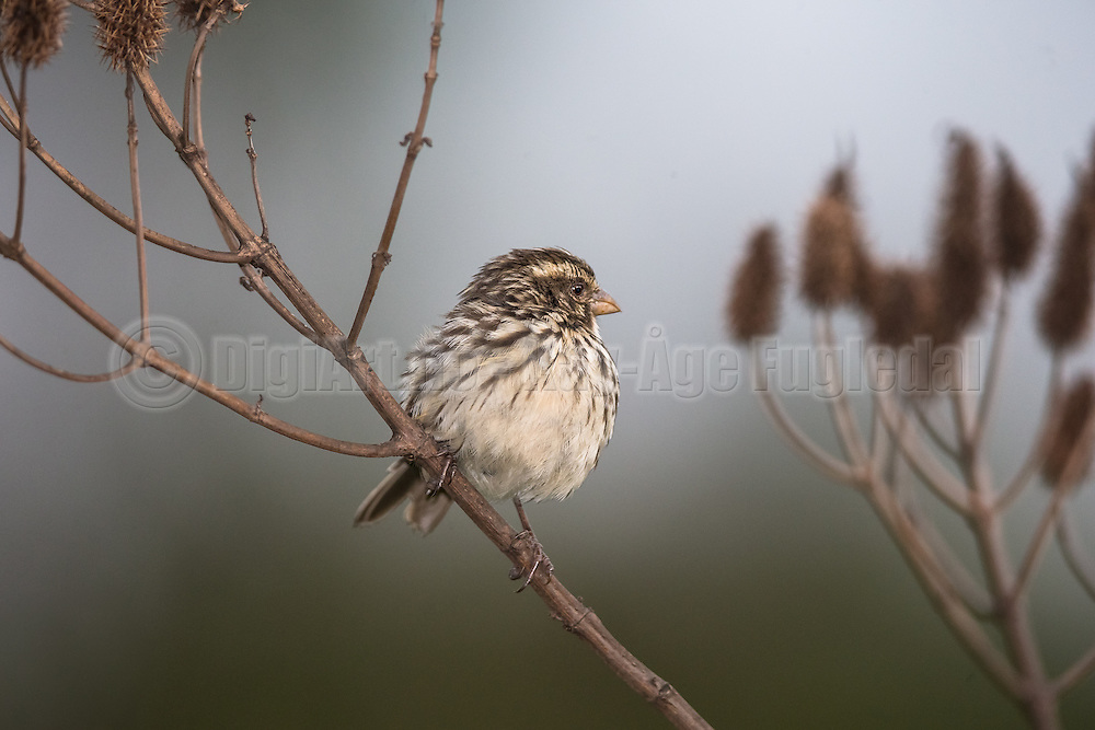 The Streaky Seedeater is a species of finch in the Fringillidae family. Rwanda | Striperisken er en art fra finkefamilien, her fotografert i Rwanda.