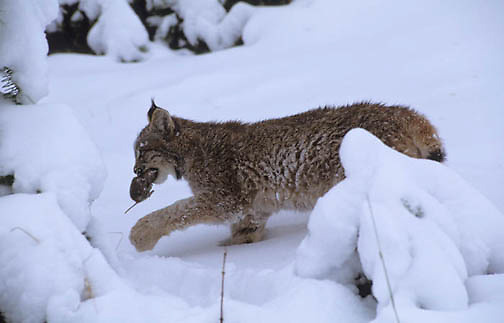 Canada Lynx, (Lynx canadensis) Montana. Sub adult in snow. Winter. Captive Animal.