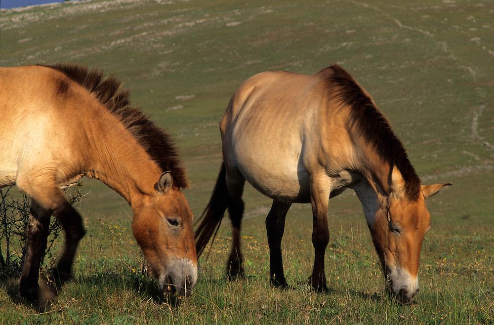 France, Languedoc Roussillon, Lozère, Cévennes, Causse Méjean, chevaux de Przewalski