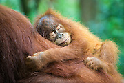 Sumatran Orangutan<br /> Pongo abelii<br /> 2.5 year old baby sleeping on mother<br /> North Sumatra, Indonesia<br /> *Critically Endangered