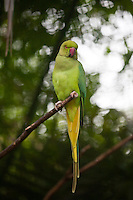 Ring-necked Indian Parakeet