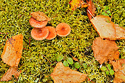 Mushrooms, moss and autumn leaves<br /> Ear Falls<br /> Ontario<br /> Canada