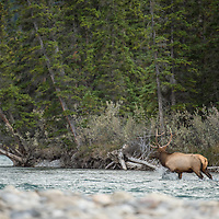 bull elk walking up river