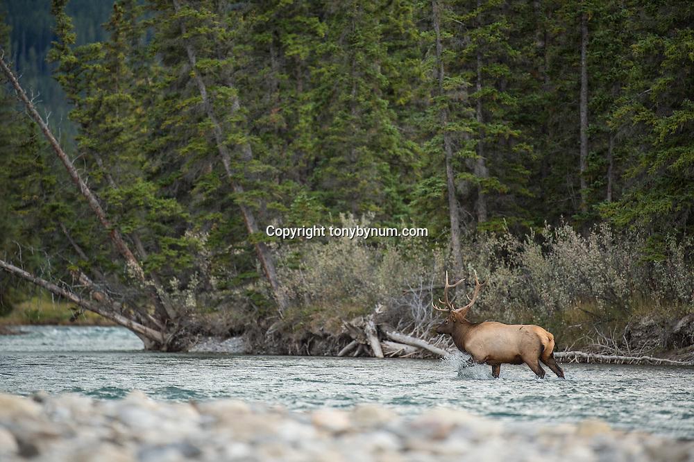 bull elk walking up river