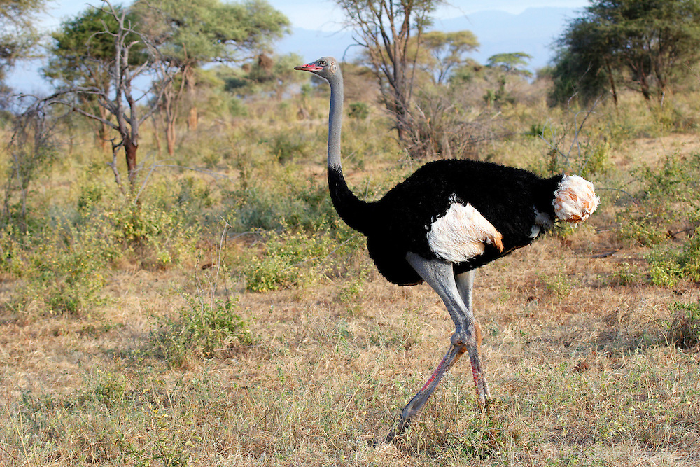 Africa, Kenya, Meru. Male Somali Ostrich in Meru National Park.