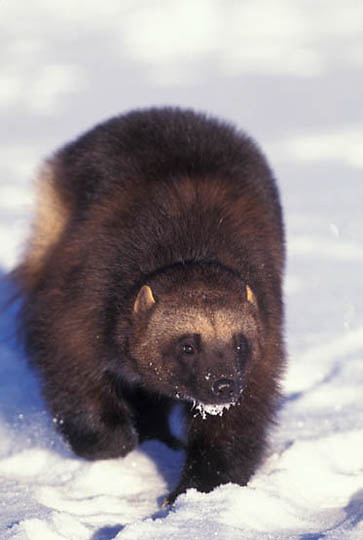 Wolverine, (Gulo gulo) Portrait. Winter. Rocky mountains. Captive Animal.