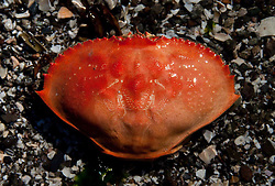 Crab Shell, Horton's Hook, Shaw Island, Washington, US