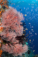 Trevally hunting Fusiliers above a Sea Fan encrusted reef wall<br /> <br /> Shot in Raja Ampat Marine Protected Area West Papua Province, Indonesia