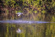 Ringed Kingfisher; fishing, fish, capture, prey, Brazil; flying; Mato Grosso; Megaceryle torquata; Pantanal; taking off