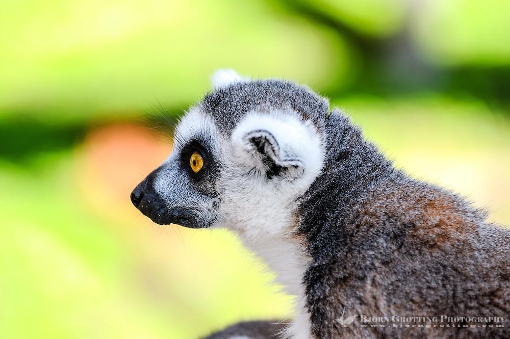 Sweden, Stockholm, Skansen zoo. Ring-tailed lemur.