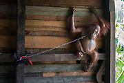 "Baby orangutan who was rescued after spending SIX MONTHS chained by the neck to a narrow plank of wood in a family's kitchen is now healthy and doing well at the International Animal Rescue Orangutan Centre in Ketapang, West Borneo<br /> <br /> ""Bonika"" the baby orangutan's story back in November 2016  was rescued after spending six months chained by the neck to a narrow plank of wood in a family's kitchen.<br /> The 18-month-old ape, named Bonika, was found chained so tightly around the neck that she was barely able to move from side to side.<br /> She was left stranded on the plank after she was captured by Bapak Hendrigus, who found her in the middle of a palm oil plantation<br /> <br /> now after spending 6 months at the centre ""Bonika"" is a million miles away from her past life...<br /> <br /> Heribertus Suciadi, a member of the team  in Ketapang, West Borneo said....<br />  ""Bonika - She is so smart! She learns quickly in pre-school where she spends her days playing and climbing with other babies. She has the natural instinct of how to climb up high in the trees, grab some branches and leaves to build a nest  and how to socialise with other orangutans. At first she was a picky eater, she didn't want to eat certain fruits or vegetables. But now, she will eat any kind of fruits and vegetables which the baby sitter brings to the forest! Bonika loves to observe the world from the top of a tree, therefore whenever the babies arrive at school she will climb up high then swing from tree to tree""<br />  <br /> In conclusion - after her terrible start in life, Bonika is showing all the signs of becoming the perfect candidate for eventual release back into the forest. We're thrilled with her progress so far!<br /> ©International Animal Rescue/Exclusivepix Media"