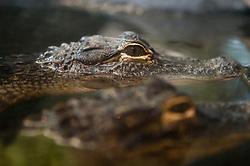 American Alligators (Alligator mississippiensis) stick their head out of water, South Carolina Aquarium, Charleston, South Carolina, United States of America.