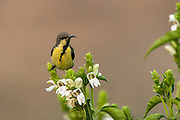 Purple sunbird (Cinnyris asiaticus)<br /> Bharatpur National Park <br /> Rajasthan, India<br /> Range: India and Asia