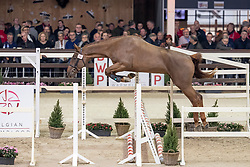 024, Quartz van't Ruytershof<br /> Hengstenkeuring BWP - Lier 2019<br /> © Hippo Foto - Dirk Caremans<br /> 18/01/2019
