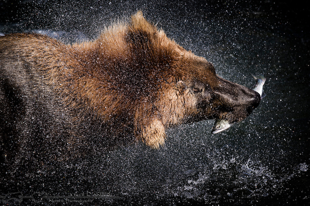 A grizzly bear shaking dry after catching a salmon