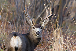 Mule Deer in fall woodland