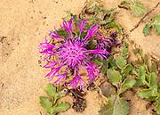 Greater knotweed plant, Centaurea scabiosa, in flower growing in sand, Algarve, Portugal, Southern Europe