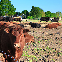 Cattle at the Raymond Farm in Ipswich, Massachusetts.