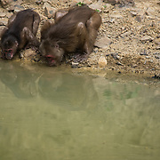 Stump-tailed Macaque (Macaca arctoides) drinking water in Kaeng Krachan national park, Thailand