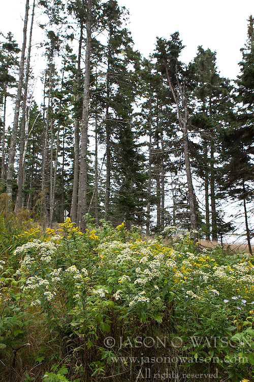Wild flowers and pine tress, Acadia National Park, Maine, United States of America
