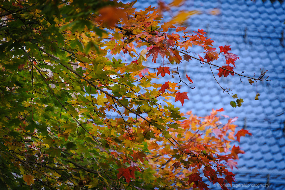 Oslo, Norway, October 2012: Autumn Leaves infront of the Cathedral Roof