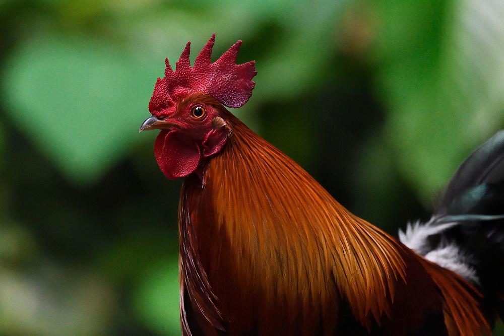 Red jungle fowl, Gallus gallus, bird portrait photographed in Tongbiguan nature reserve, Dehong Prefecture, Yunnan Province, China