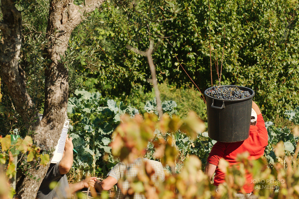 The wine grapes harvest in a late summer day at central Portugal