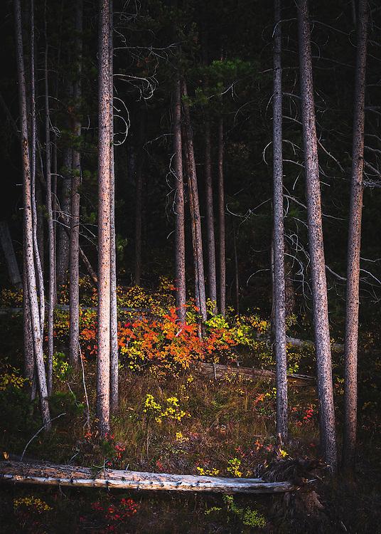 Fall foliage among the aspens