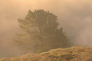 Golden sunrise light on fog and mist over pine tree on hillside, Golden Gate NRA, Marin Headlands, California