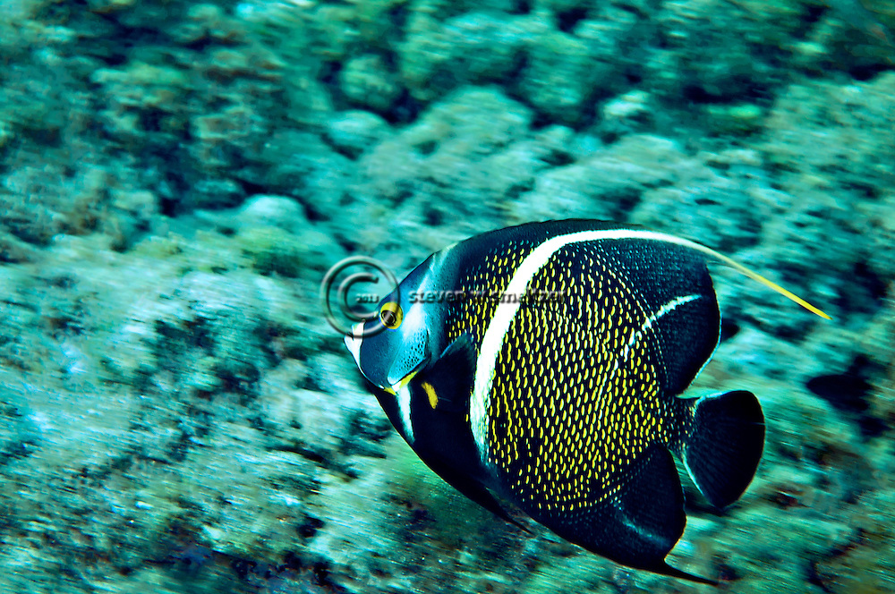 French Angelfish Intermediate, Pomacanthus paru, (Bloch, 1787), Grand Cayman