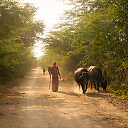 Indian woman herding buffalo in rural Rajistan