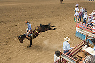 Saddle Bronc Rider at Miles City Bucking Horse Sale, Montana