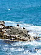 New Zealand fur seals (Arctocephalus forsteri) sun and dry on the rocks just north of Half Moon Bay Bay, Canterbury, New Zealand
