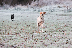 © Licensed to London News Pictures. 27/12/2016. Horsham, West Sussex, UK.  A dog runs across frost covered ground in Horsham, West Sussex. Parts of the south of England have woken to frost and freezing weather this morning.  Photo credit: Vickie Flores/LNP