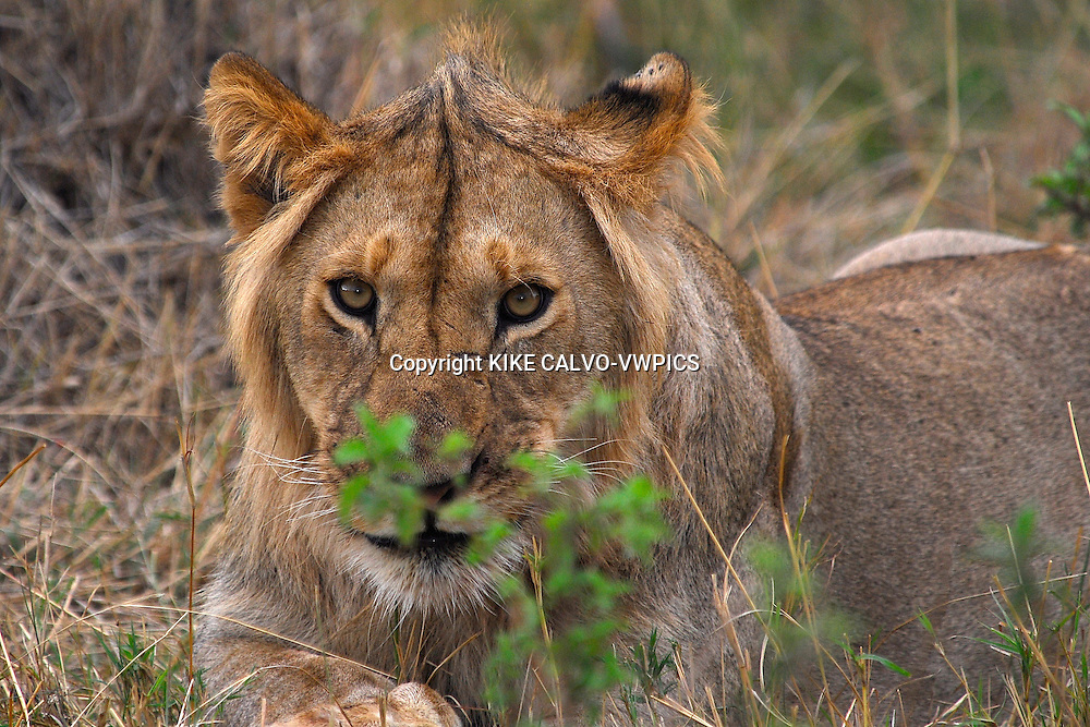 Lion ( Panthera leo ) Masai Mara National Park. Kenya. Africa