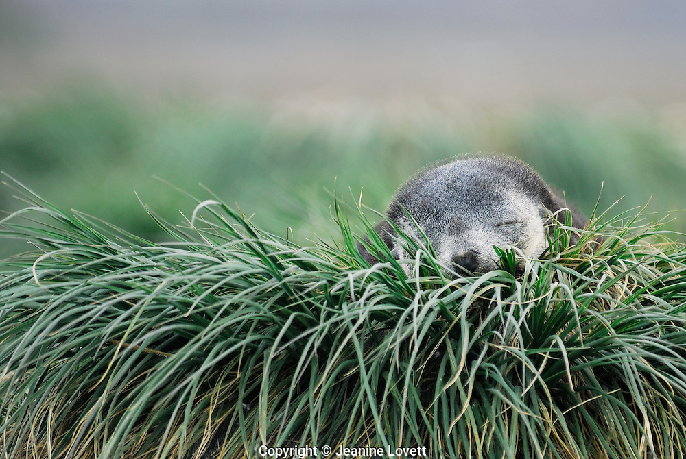 Baby weaner southern fur seal pup sleeps near the sea on tussock grass in Salisbury Plain, South Georgia. This photo when cropped also makes a great panoramic.
