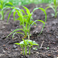 The Three Sisters, a North American aboriginal growing practise where corn, beans, and squash are grown together and support each other's growth requirements.