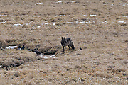 Grey Wolf, Wolf, Yellowstone, Yellowstone National Park, Wyoming