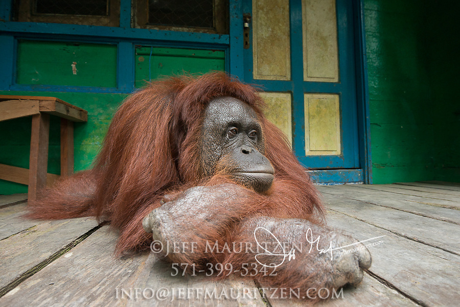 A female adult Bornean orangutan rests on a wooden porch of Camp Leakey on the island of Borneo, Indonesia.
