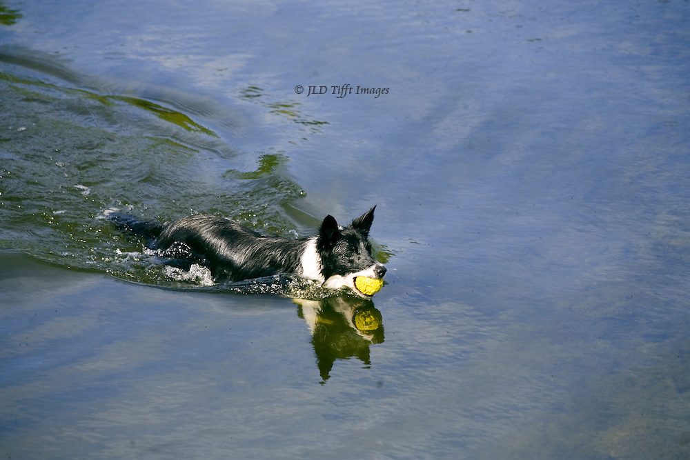 Border collie, pet sheep dog, fetching a yellow tennis ball in the Wharfe River. He swims with determination across the river width, the ball clutched in his jaws.