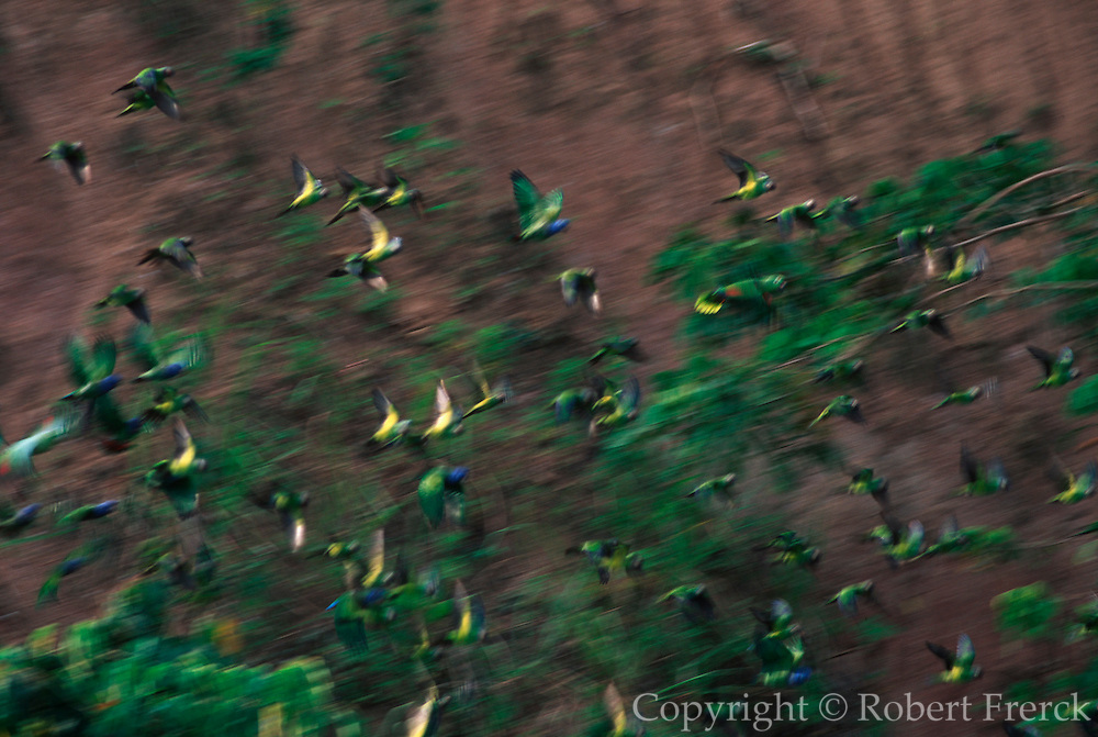 ECUADOR, AMAZON, ADVENTURE TRAV. Napo River (tributary) parrots at riverbank