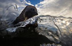 Walrus (Odobenus rosmarus) in Svalbard