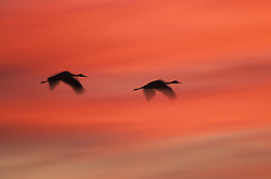 USA, New Mexico, Bosque del Apache Wildlife Refuge. Two sandhill cranes fly off into the sunset. Credit as: © Josh Anon / Jaynes Gallery / DanitaDelimont.com