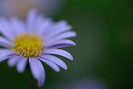 soft focus close up of pale purple aster