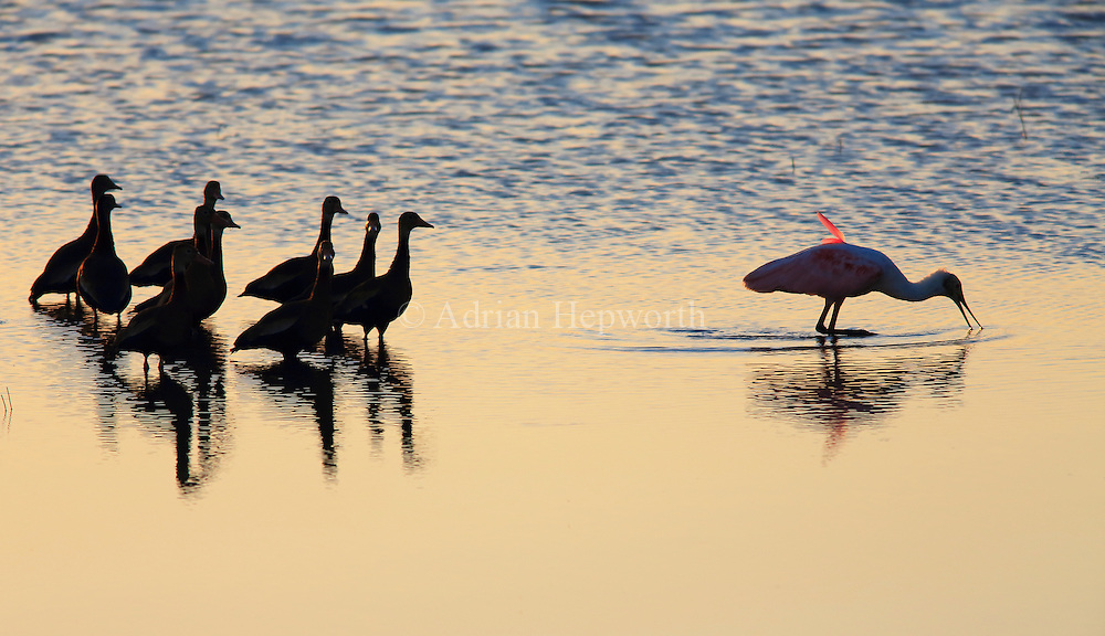 Roseate Spoonbill (Platalea ajaja) and Black-bellied Whistling-Ducks (Dendrocygna autumnalis) in lagoon in Palo Verde National Park, Guanacaste, Costa Rica. <br /> <br /> For pricing click on ADD TO CART (above). We accept payments via PayPal.